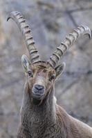 alpin sticka - steinbock foto