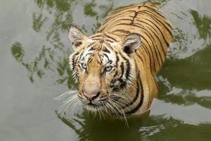 tiger i vatten foto