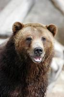 grizzlybjörn leende foto