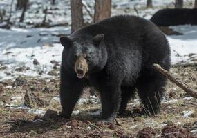 svart björn foto