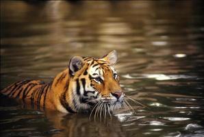 indisk tiger, världens största levande katt foto