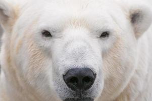 isbjörn på nära håll foto