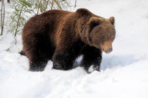 björn på vintern foto