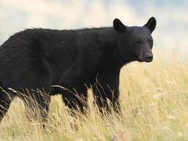 amerikansk svartbjörn - waterton sjöar nationalpark foto