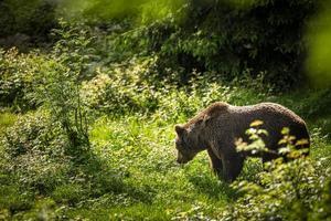 brunbjörn (ursus arctos) foto