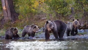 grizzly mamma och ungar foto