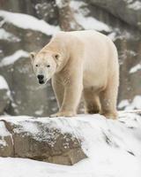 isbjörn foto