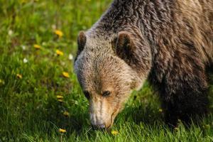 grizzlybjörn (ursus arctos horribilis) foto