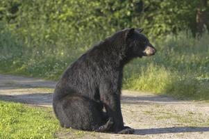 svartbjörn sitter foto