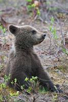 björnunge sitter foto