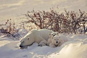 isbjörn med sina ungar foto