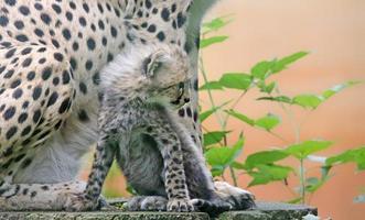 cheetah cub framför sin mamma 02 foto