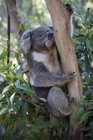 Koala björn foto