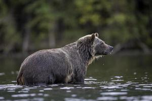 grizzly posera foto