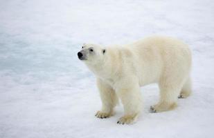 isbjörn på svalbard foto