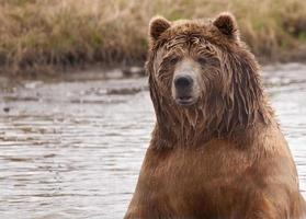våt kodiakbjörn i vattnet foto
