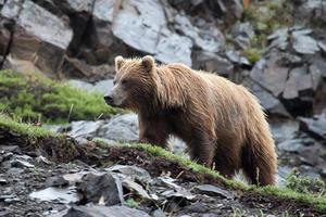 brunbjörn i denali nationalparken foto
