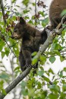 amerikansk svartbjörn och unge (ursus americanus) foto