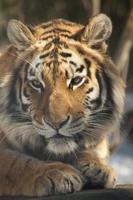 siberian tiger foto