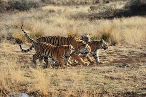 familj av tigrar foto