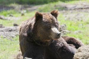 brunbjörn porträtt foto