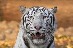 vit Bengal tiger med öppna chaps. foto