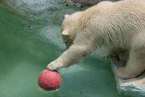 djur: isbjörn foto