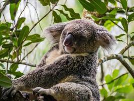 koala sover foto