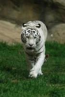 vit tiger foto