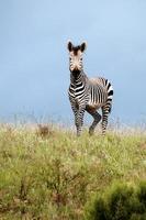 graciös zebra foto