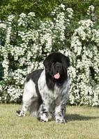 newfoundland hund på grönt gräs foto