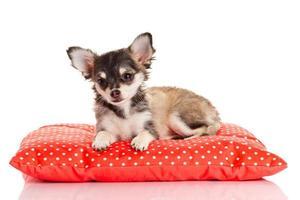 chihuahua hund på röd kudde foto