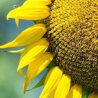solros närbild med bi foto