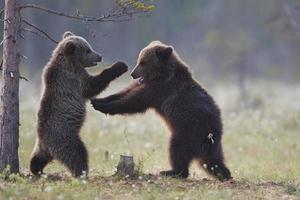 brunbjörnungar spelar slåss foto