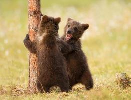 två brunbjörnungar foto