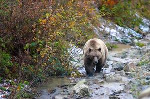 brunbjörn i skogen foto