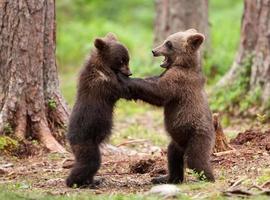 brunbjörnungar foto