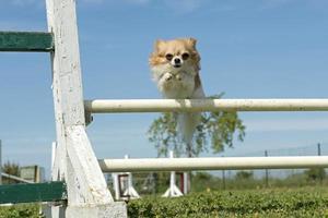 chihuahua i smidighet foto
