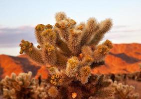 cholla kaktus trädgård mojave öken joshua tree national park cal foto