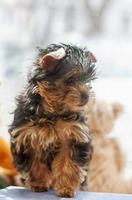 yorkshire terrier valp 2 månader foto
