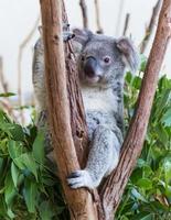 koalabjörnen på trädet foto