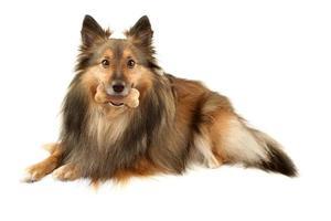 sable sheltie med hundben foto