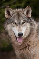 timmerwolf (canis lupus) öppen mun foto