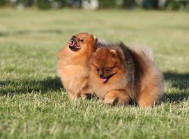 två pomeranian spitz som spelar i parken foto