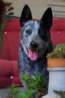 australiska nötkreaturhund foto