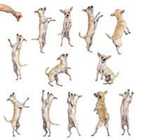 samling av 12 chihuahuas, olika positioner, isolerade foto