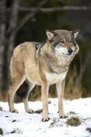 varg som står i den kalla vinterskogen foto