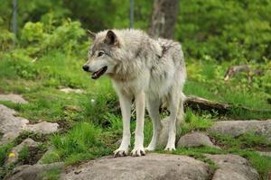 grå varg som står på en klippa foto