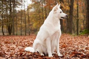 vit sheppard i skogen sitter foto