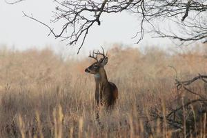 vit-tailed hjort foto